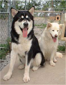 Hudsons Malamutes - Aikido and Igloo - Chaoz parents