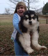 Hudson's Malamutes - Adorable Black Fluffy Alaskan Malamute Puppy! - A Puppy is a big investment. You have to have love and understanding. You have to have a commitment to training.