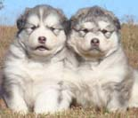 Hudson's Malamutes - Adorable Gray Fluffy Puppy! - A Puppy is a big investment. You have to have love and understanding. You have to have a commitment to training.
