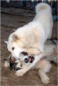 Hudsons Malamutes - Utana playing with the love of her life Takoma